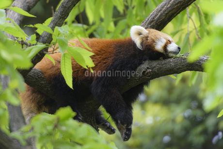 昼寝をするレッサーパンダの写真素材 [FYI04115651]