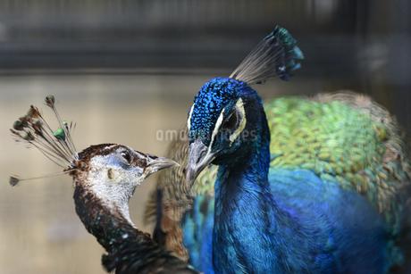 会話する2匹の孔雀の写真素材 [FYI04115652]