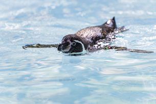 泳ぐフンボルトペンギンの写真素材 [FYI04115654]