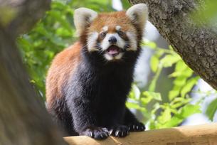 笑顔のレッサーパンダの写真素材 [FYI04115655]