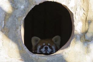 ひょっこりするレッサーパンダの写真素材 [FYI04115656]