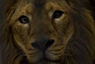こちらを見るインドライオンの写真素材 [FYI04115659]