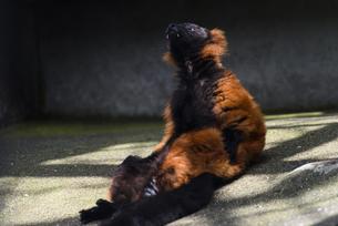 日光浴をするアカエリマキキツネザルの写真素材 [FYI04115662]