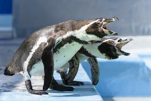 叫ぶフンボルトペンギンの写真素材 [FYI04115676]