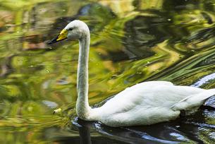 優雅に泳ぐ白鳥の写真素材 [FYI04115679]