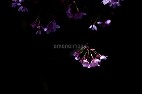 昭和記念公園の暗闇と桜の写真素材 [FYI04115695]