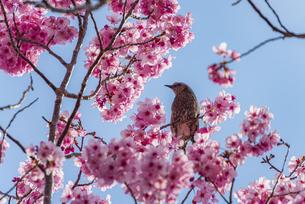 昭和記念公園のヒヨドリと桜 ①の写真素材 [FYI04115700]