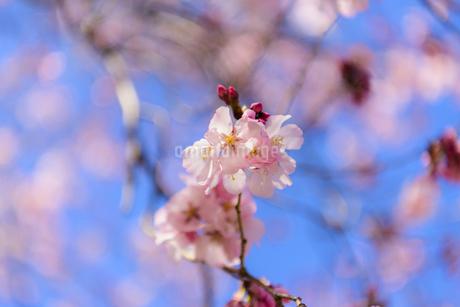 昭和記念公園の桜 ③の写真素材 [FYI04115708]