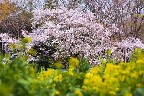 昭和記念公園の桜と菜の花の写真素材 [FYI04115709]