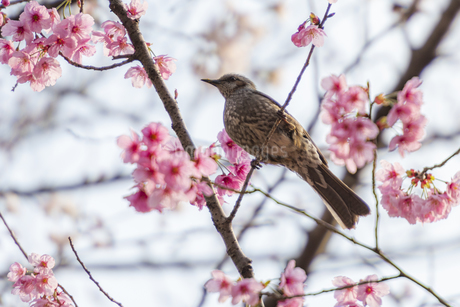 昭和記念公園のヒヨドリ ②の写真素材 [FYI04115715]