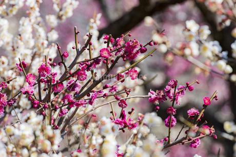 大倉山公園の梅の写真素材 [FYI04115716]