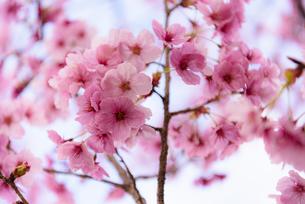 昭和記念公園の桜 ④の写真素材 [FYI04115718]