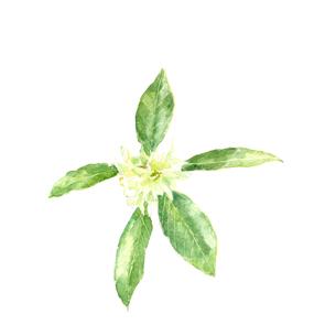水彩 しきみ 樒 シキミ しきび 仏花のイラスト素材 [FYI04115810]