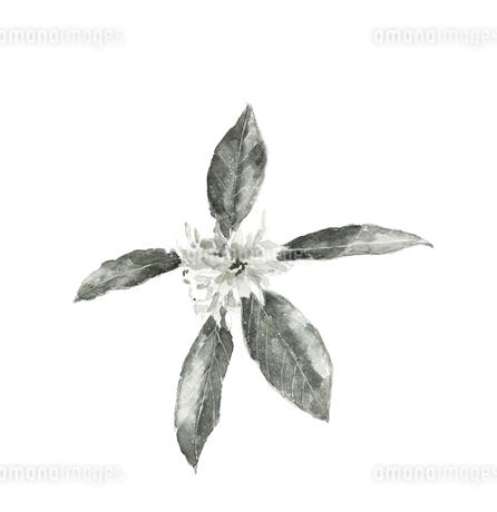 しきみ 樒 シキビ 仏花 水彩 水墨画風 モノトーンのイラスト素材 [FYI04115811]