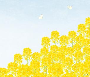 いちめんの菜の花とモンシロチョウと青空 水彩のイラスト素材 [FYI04115815]
