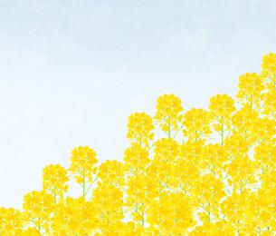 青空といちめんの菜の花 水彩のイラスト素材 [FYI04115816]