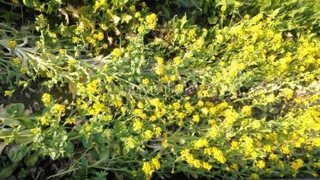菜の花の写真素材 [FYI04115834]
