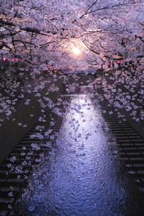 目黒川の桜の写真素材 [FYI04115929]