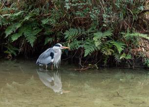 【鳥】 アオサギが水の中にいる様子の写真素材 [FYI04116045]