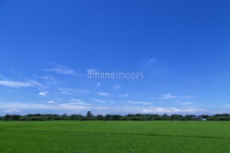 緑色の稲穂の田園風景。田舎,田園,故郷イメージの背景素材の写真素材 [FYI04116221]