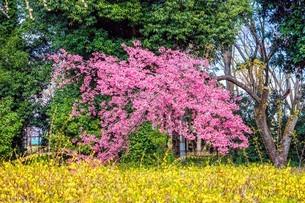 レンギョウの黄色 ハナモモの桃色 木の葉の緑色の写真素材 [FYI04116326]