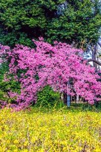 レンギョウの黄色 ハナモモの桃色 木の葉の緑色の写真素材 [FYI04116327]