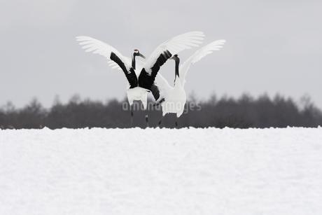 タンチョウのダンスの写真素材 [FYI04116340]
