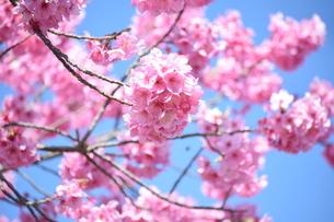 桜の写真素材 [FYI04116500]