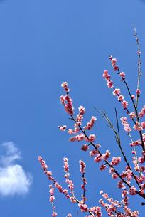 梅の花の写真素材 [FYI04116505]