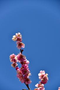 梅の花の写真素材 [FYI04116506]