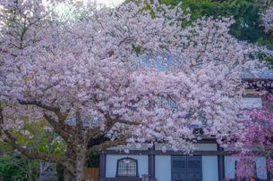 満開の桜と鎌倉長谷寺の風景の写真素材 [FYI04116606]