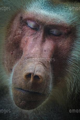 シンガポール動物園のマントヒヒのイメージの写真素材 [FYI04116764]