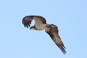 飛翔するミサゴの写真素材 [FYI04116807]
