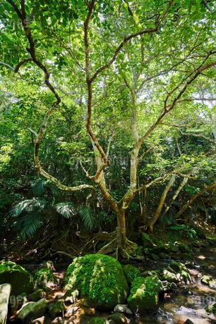 西表島のジャングルの写真素材 [FYI04116822]
