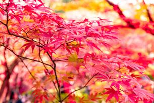 美しい京都の紅葉の写真素材 [FYI04117114]