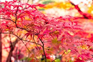 美しい京都の紅葉の写真素材 [FYI04117115]