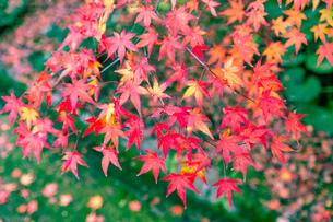 美しい京都の紅葉の写真素材 [FYI04117124]
