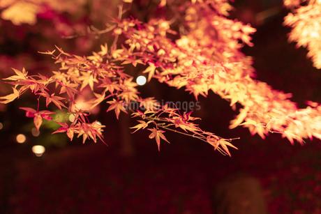 京都のライトアップされた美しい紅葉の写真素材 [FYI04117391]