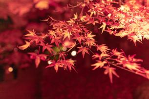 京都のライトアップされた美しい紅葉の写真素材 [FYI04117393]