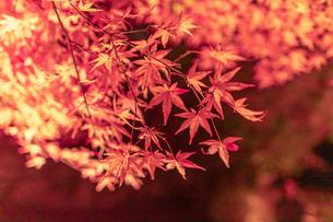京都のライトアップされた美しい紅葉の写真素材 [FYI04117395]