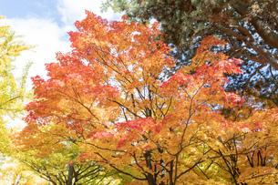 北海道 札幌イチョウ並木の紅葉の写真素材 [FYI04117491]