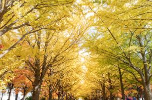 北海道 札幌イチョウ並木の紅葉の写真素材 [FYI04117505]