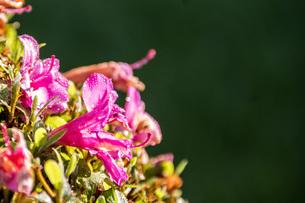 ピンクの花びらについた水滴の写真素材 [FYI04117674]
