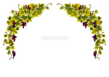 葡萄のイラストのフレーム(線無し)のイラスト素材 [FYI04117679]