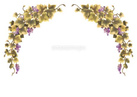 葡萄のイラストのフレーム(線無し)のイラスト素材 [FYI04117684]