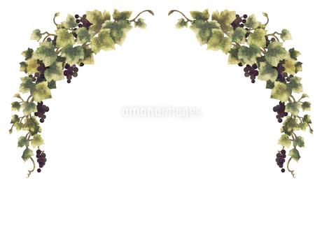 葡萄のイラストのフレーム(線無し)のイラスト素材 [FYI04117688]