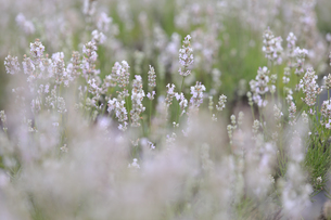 白いラベンダーの写真素材 [FYI04117767]