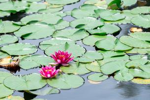 ハスの花とハスの葉の写真素材 [FYI04117890]