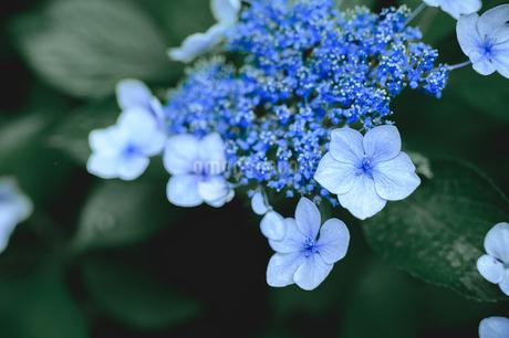 紫陽花の花びらクローズアップの写真素材 [FYI04117891]