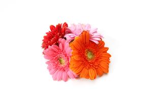 ガーベラの花束の写真素材 [FYI04117922]